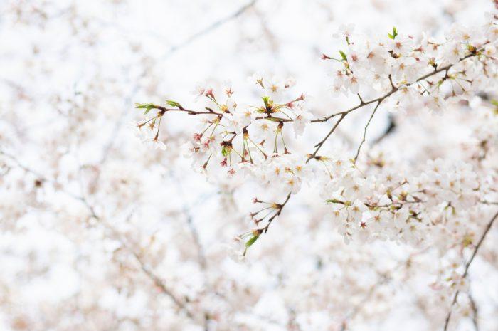 満開の桜と一緒に撮影できました。